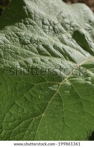 Leaf of a burdock - stock photo
