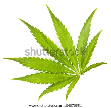 Leaf of a Cannabis plant - stock photo