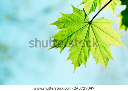 leaf of a maple tree against blue sky - stock photo