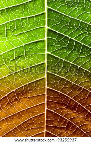 Leaf of a plant close up, half green and half dry - stock photo