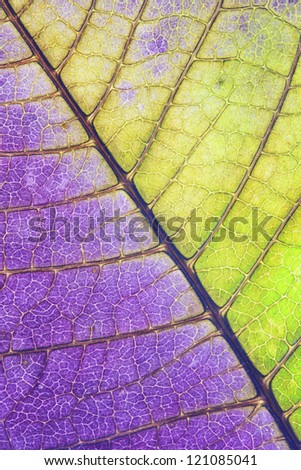 Leaf of a plant close up, half green and half purple - stock photo