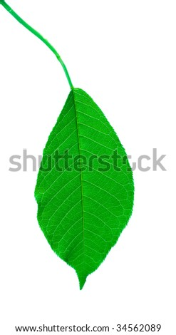 Leaf of a plant close up isolated on white