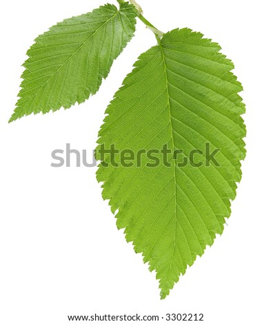 Leaf of an elm close-up, isolated on a white background