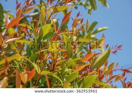 Leaf of Australian Rose Apple tree and blue sky background - stock photo