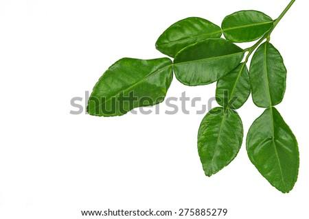 Leaf of bergamot (kaffir lime) isolated on white background.  - stock photo