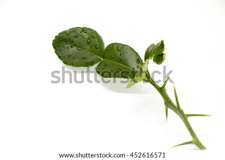 Leaf of bergamot  or kaffir lime leaves  isolated on white background. - stock photo