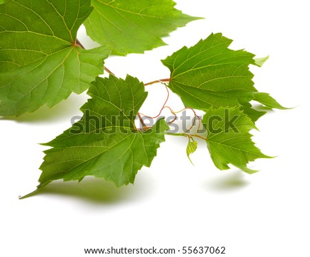 Leaf of grapes isolated on white - stock photo