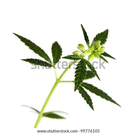 Leaf of hemp on white background (isolated) - stock photo