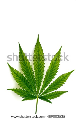 Leaf of hemp plant on white background