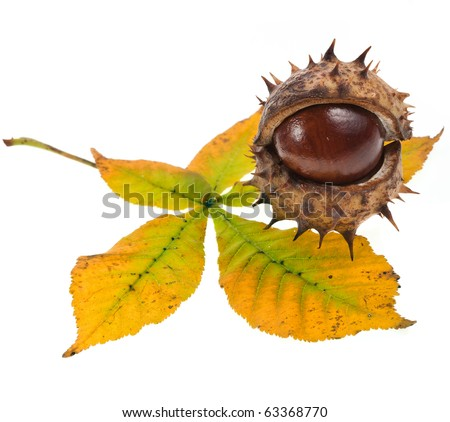 Leaf of horse chestnut tree Horse Chestnuts Aesculus on a white background - stock photo