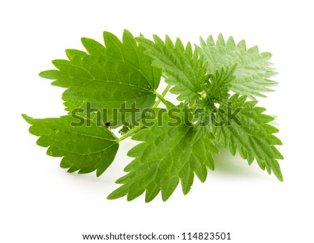 Leaf of nettle on white background. Nettle plant.