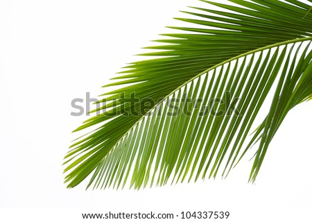 Leaf of palm tree isolated on the white background - stock photo