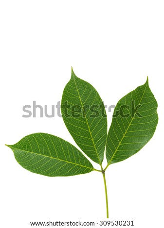 leaf of rubber tree isolated on white background