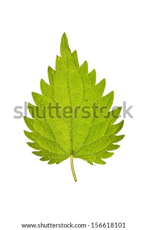 Leaf of Stinging nettle isolated on white