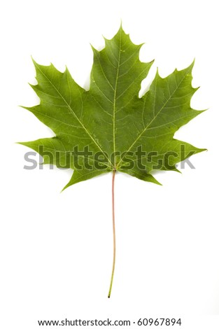 leaf of the maple - stock photo