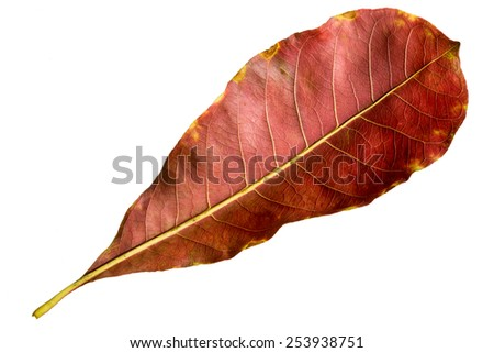 Leaf of tropical almond tree isolated on white background - stock photo