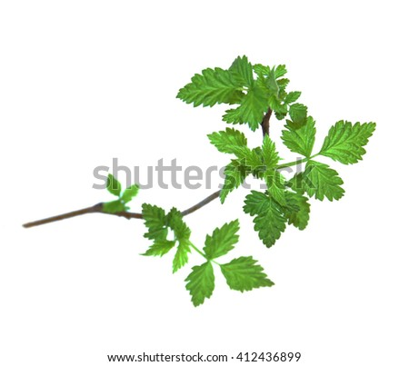 leaf of young green twig raspberry bush isolated leaves on white background for scrapbook, draw object, spring leaf