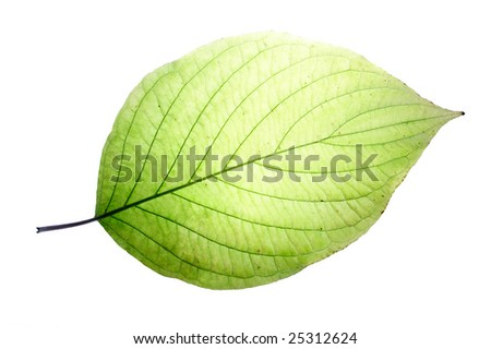 Leaf on a gleam, capillaries of a leaf are visible.