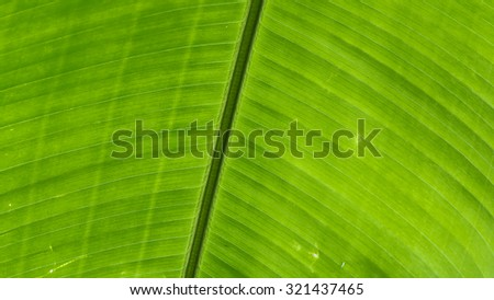 Leaf Pattern of Heliconia Rostrata (Hanging Lobster-claw) - stock photo