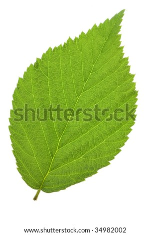 leaf raspberry isolated on a white - stock photo