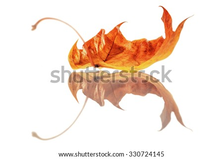Leaf reflecting in white background.  Soft focus view. Isolated.  - stock photo