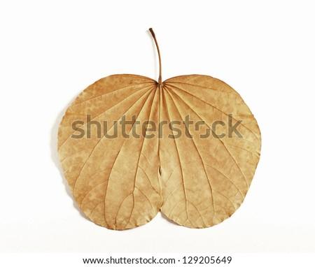 Leaf similar apple - stock photo