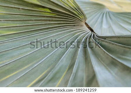 Leaf stalk lines of Borassus flabellifer tree. The tree can reach a height of 30 meters with a canopy of green-bluish, leaves several dozen fronds spreading 3 meters across - stock photo
