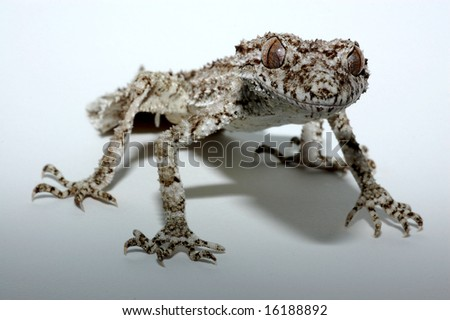 Leaf tailed gecko in lightbox with graduated white to black background - stock photo