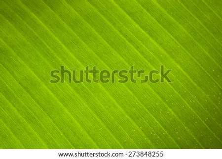 Leaf Texture or Leaf Pattern using for decoration - stock photo