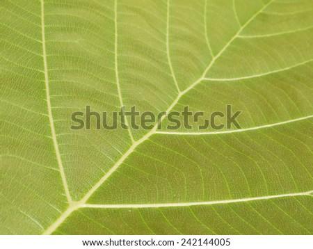 leaf texture ( teak leaf ) - stock photo