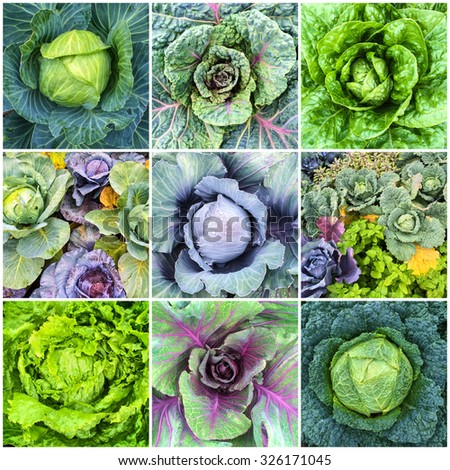 Leaf vegetables. Cabbage and lettuce in summer vegetable garden. Collage of nine photos. - stock photo