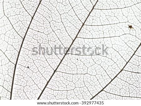 leaf veins - stock photo