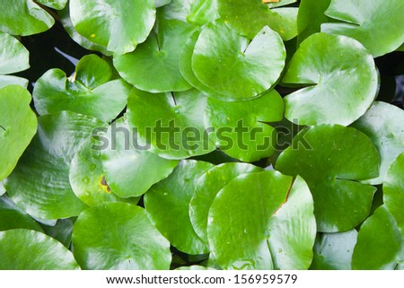 leaf water lily nice background