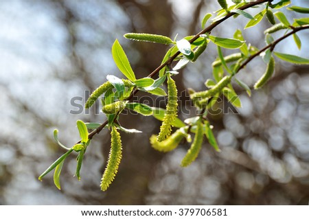 leaf willow, riverside, tree, coast, clear, bud, green, white, spring, river, march, flower, yellow, urban, pussy, blossom, bloom, morning, sun, fluffy, season, flora, bush, twig, garden,   - stock photo