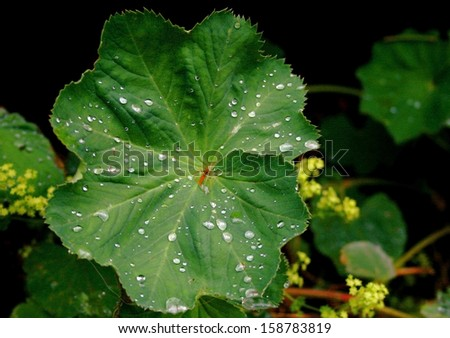 Leaf with Dew - stock photo