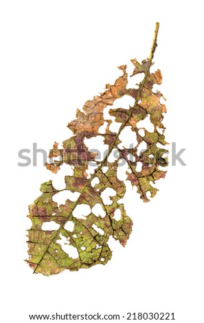 Leaf with holes, eaten by pests isolated on white background - stock photo