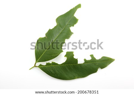 Leaf with holes, eaten by pests  on white background  - stock photo