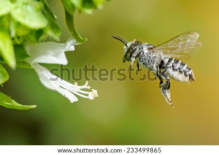 Leafcutter Bee (Megachile argentina) feeding on a Basil's (Ocimum basilicum) nectar in flight. Patagonia, Argentina, South America. - stock photo