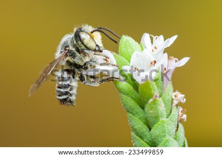 Leafcutter Bee (Megachile sp.) feeding on nectar. Patagonia, Argentina, South America.