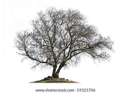 Leafless ash-tree (Fraxinus excelsior) in the winter season isolated on white - stock photo