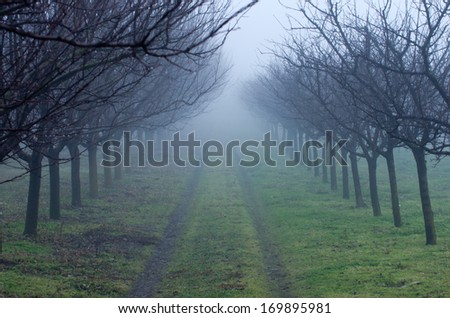 Leafless orchard trees on foggy day - stock photo