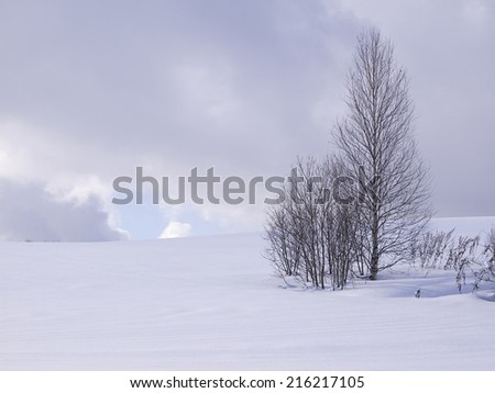 Leafless pine trees in winter, Hokkaido, Japan. - stock photo