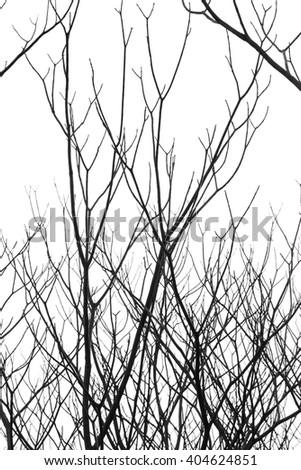 Leafless tree form isolated (against white sky), Tabebuia tree - stock photo
