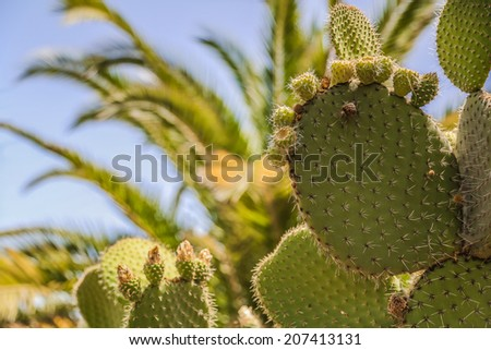 Leafs of a large cactus with spines and prickly figs fruit in front of blue sky and a palm tree - stock photo