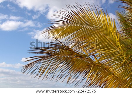 Leafs of Yellow Royal Palm Tree