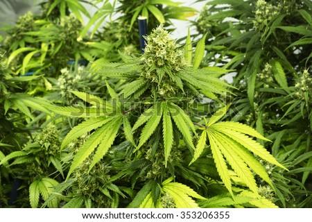 Leafy Marijuana Plant with Hairy Bud at Indoor Cannabis Farm - stock photo