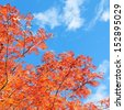 Leafy Red Japanese Maple Tree against a Blue Sky on a Sunny Autumn Day - stock photo