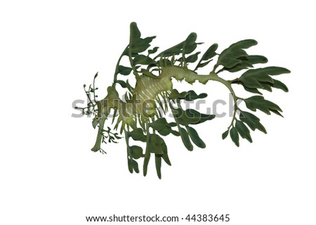 Leafy Sea Dragon Isolated on White Background with Clipping Path - stock photo