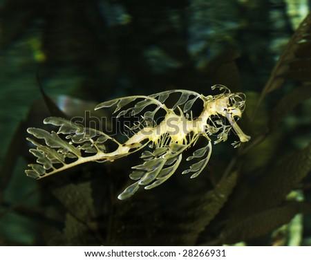leafy seadragon - stock photo