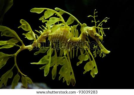 Leafy seadragon also known as Glauert's seadragon - stock photo
